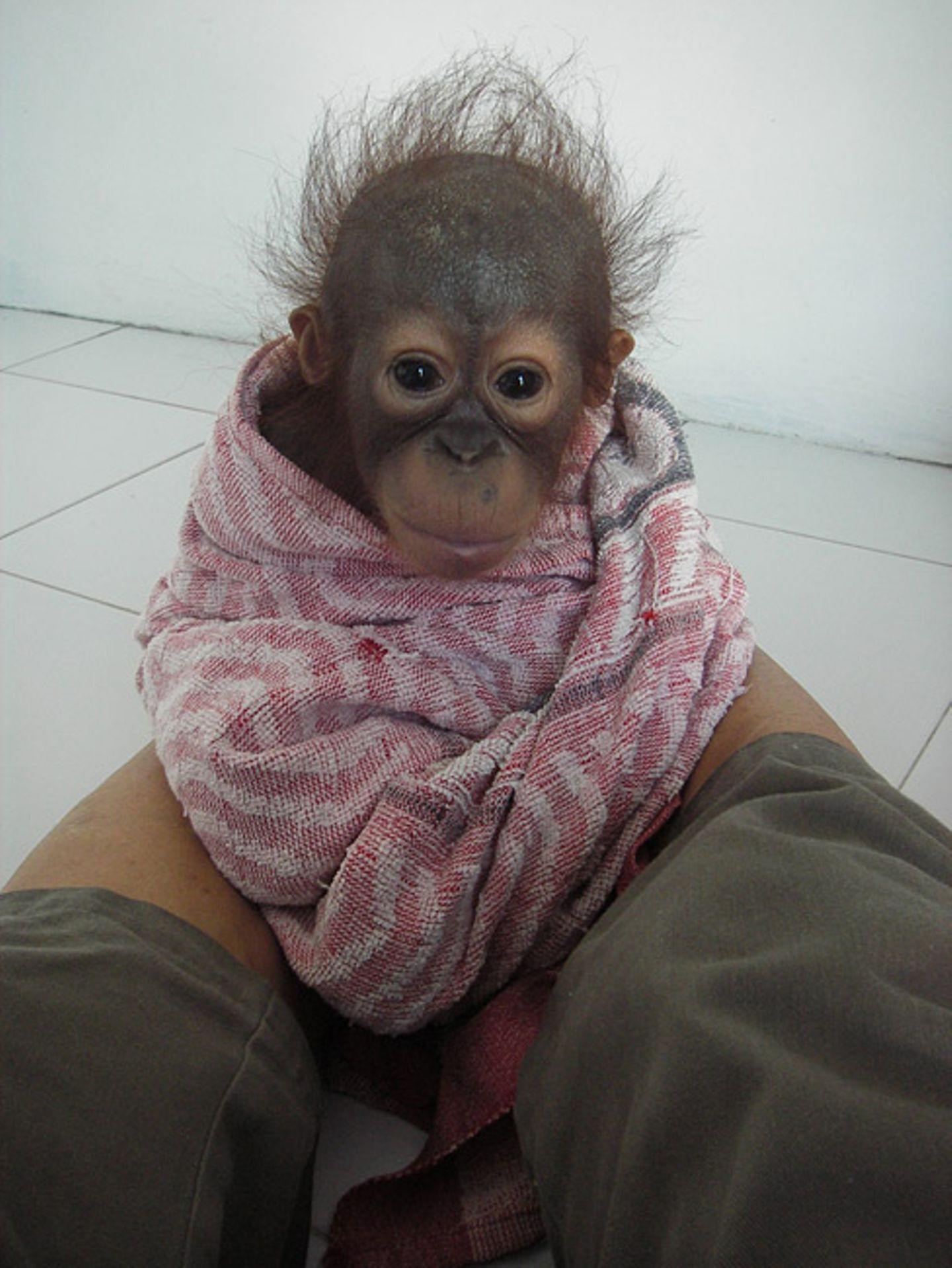Menschenaffen: Orang-Utans in Not - Bild 6
