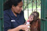 Menschenaffen: Orang-Utans in Not - Bild 7