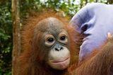 Menschenaffen: Orang-Utans in Not - Bild 9