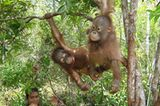Menschenaffen: Orang-Utans in Not - Bild 10