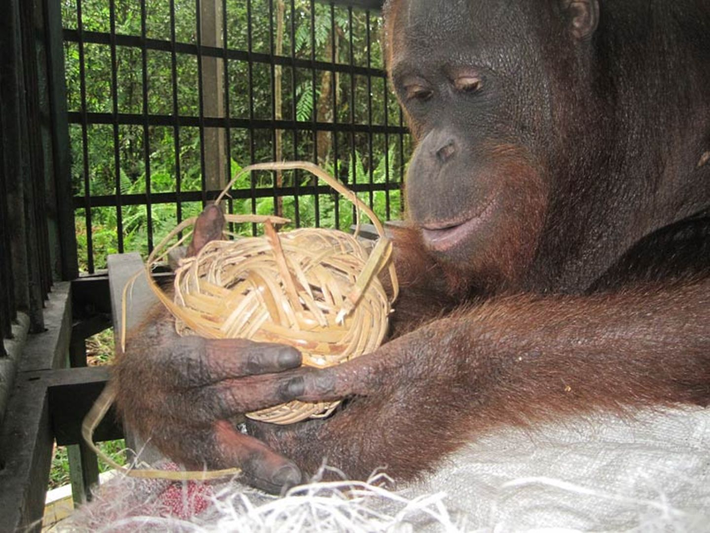 Menschenaffen: Orang-Utans in Not - Bild 11