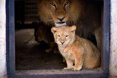 Neues Zuhause für Löwenfamilie