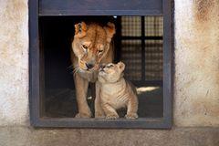 Neues Zuhause für Löwenfamilie - Bild 3