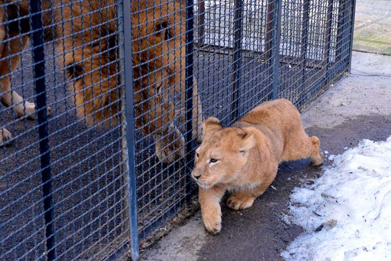 Neues Zuhause für Löwenfamilie - Bild 4