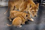 Neues Zuhause für Löwenfamilie - Bild 5