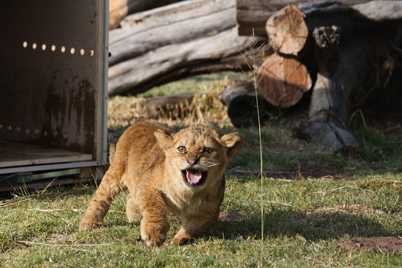 Neues Zuhause für Löwenfamilie - Bild 8
