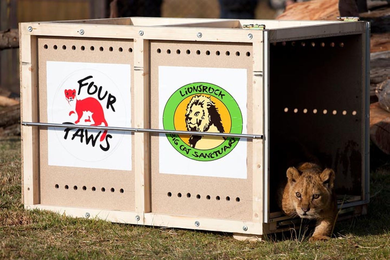 Neues Zuhause für Löwenfamilie - Bild 9