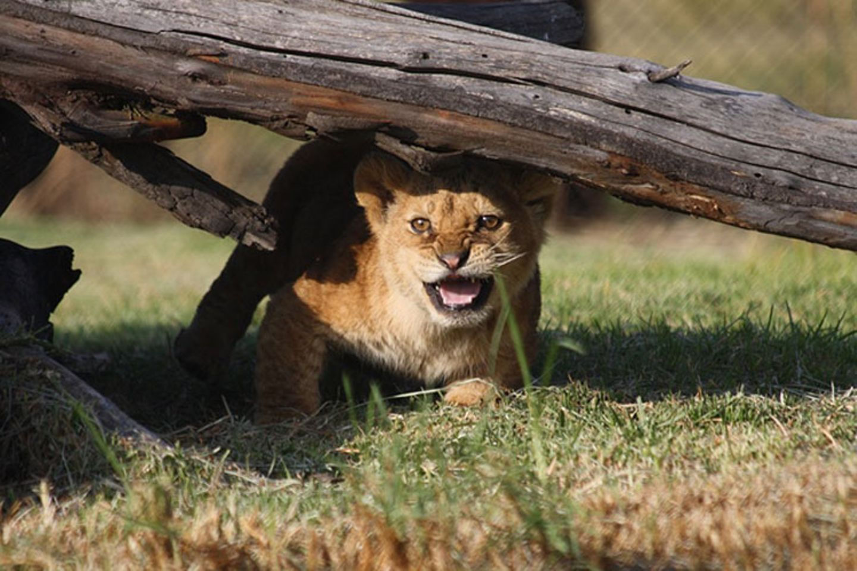 Neues Zuhause für Löwenfamilie - Bild 11