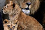 Neues Zuhause für Löwenfamilie - Bild 13