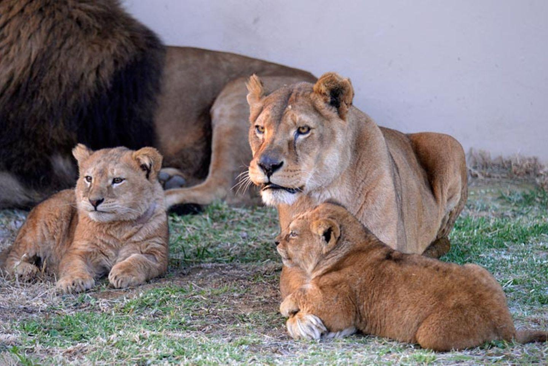 Neues Zuhause für Löwenfamilie - Bild 14