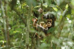 Kino: Kinotipp: Schimpansen