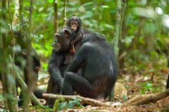 Kino: Kinotipp: Schimpansen - Bild 2