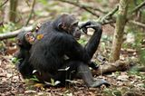 Kino: Kinotipp: Schimpansen - Bild 4