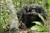 Kino: Kinotipp: Schimpansen - Bild 13