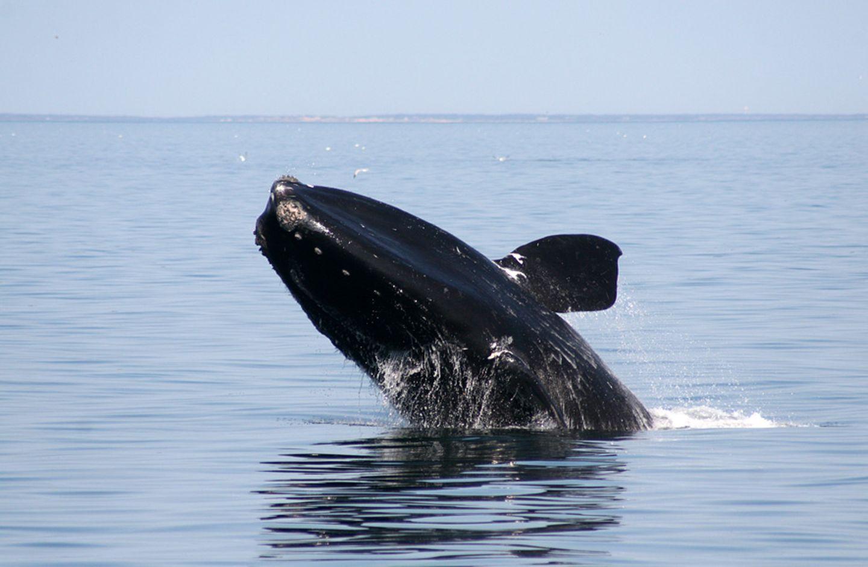Nordatlantischer Glattwal