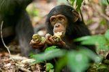 """INTERVIEW: Kinostart: """"Schimpansen"""" - Bild 6"""