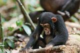 """INTERVIEW: Kinostart: """"Schimpansen"""" - Bild 8"""