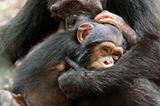 """INTERVIEW: Kinostart: """"Schimpansen"""" - Bild 9"""