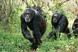"""INTERVIEW: Kinostart: """"Schimpansen"""" - Bild 12"""