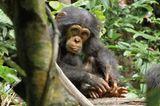 """INTERVIEW: Kinostart: """"Schimpansen"""" - Bild 13"""