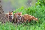 Füchse: Wieso die Tiere zu Unrecht gejagt werden