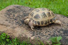 Vierzehenschildkröte