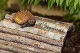 Zacken-Erdschildkröte