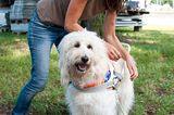 Hunde: Blindenhunde: Gespann mit guter Führung - Bild 3