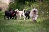 Hunde: Blindenhunde: Gespann mit guter Führung - Bild 13