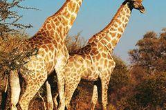 Auf einen Drink im Okavango