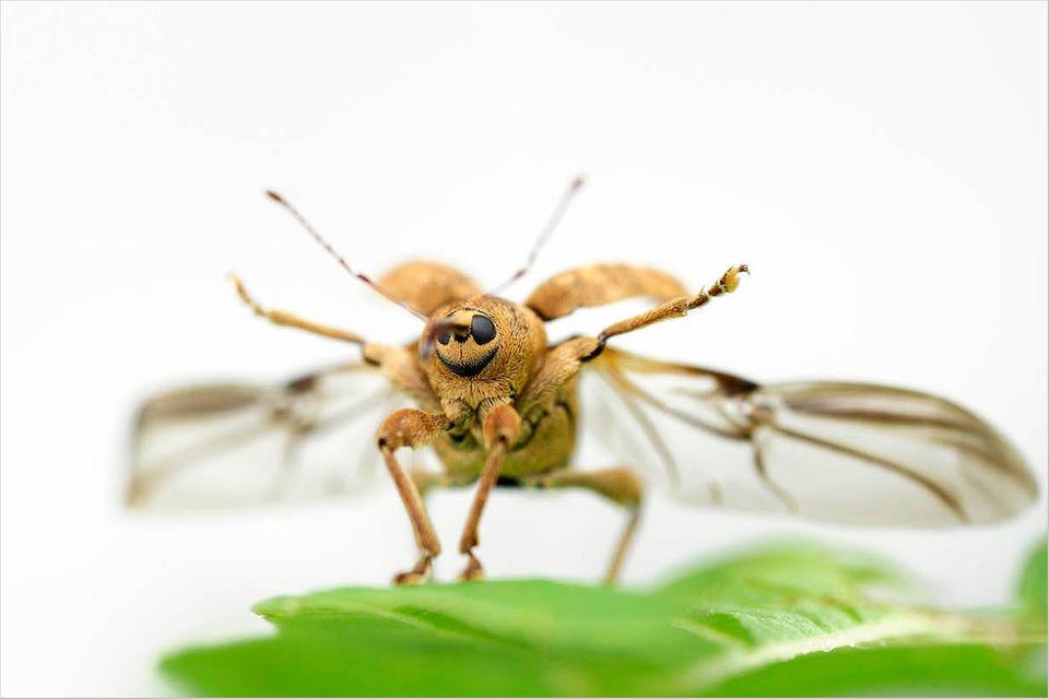 Fotogalerie: Die wunderliche Welt der Rüsselkäfer
