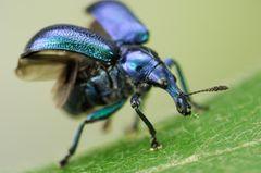 Fotogalerie: Die wunderliche Welt der Rüsselkäfer - Bild 3