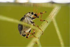 Fotogalerie: Die wunderliche Welt der Rüsselkäfer - Bild 4