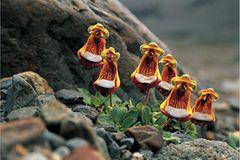 Pantoffelblumen in Patagonien