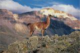 Guanakos in der patagonischen Steppe