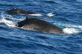 Tierschutz: Wale - bedrohte Giganten - Bild 3