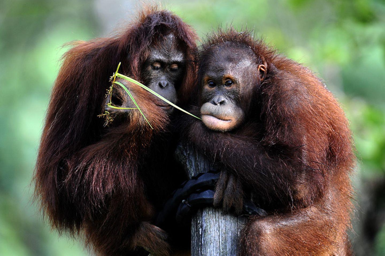 Orang-Utan: Steckbrief im Tierlexikon