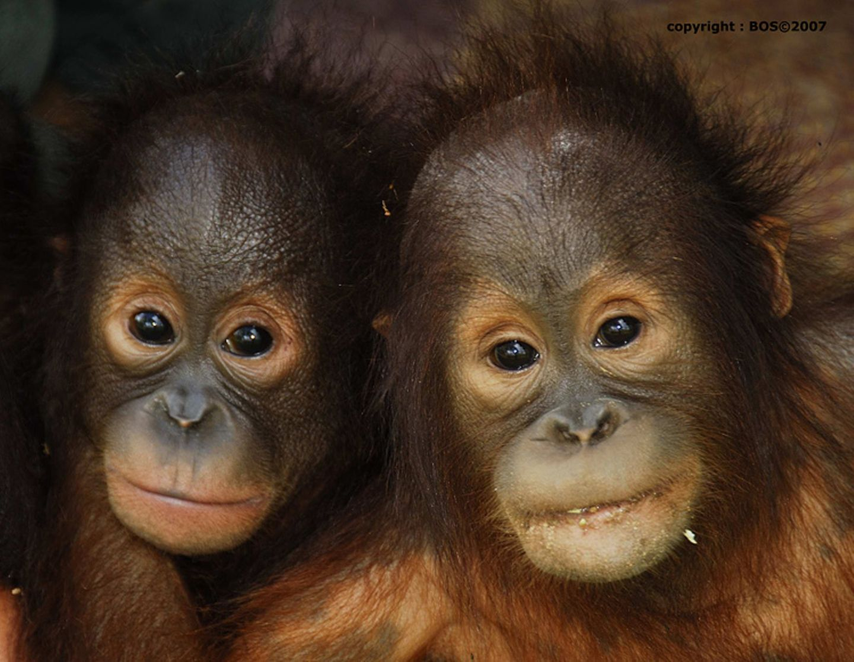 Tierlexikon: Orang-Utan - Bild 2