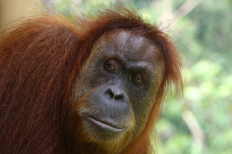 Tierlexikon: Orang-Utan - Bild 3