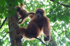 Tierlexikon: Orang-Utan - Bild 4