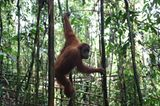 Tierlexikon: Orang-Utan - Bild 5