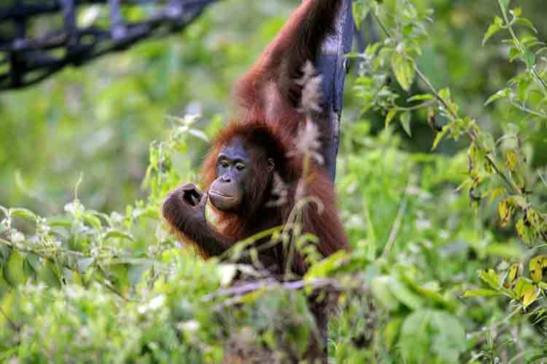Tierlexikon: Orang-Utan - Bild 6