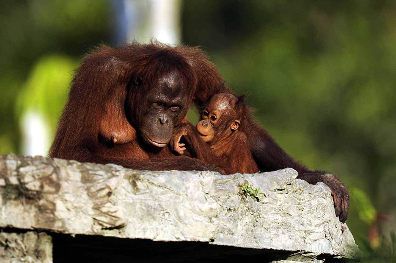 Tierlexikon: Orang-Utan - Bild 7
