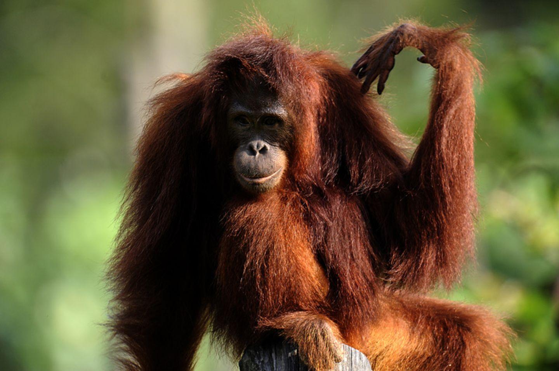 Tierlexikon: Orang-Utan - Bild 8