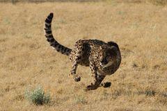 Tierschutz: Fotostrecke: Gefährdete Geparden - Bild 2