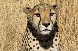 Tierschutz: Fotostrecke: Gefährdete Geparden - Bild 3