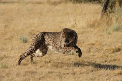 Tierschutz: Fotostrecke: Gefährdete Geparden - Bild 4