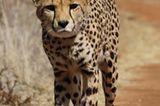 Tierschutz: Fotostrecke: Gefährdete Geparden - Bild 5
