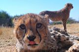 Tierschutz: Fotostrecke: Gefährdete Geparden - Bild 6