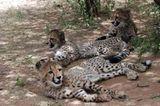 Tierschutz: Fotostrecke: Gefährdete Geparden - Bild 7